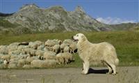 Enquête sur les relations randonneurs-chiens de protection